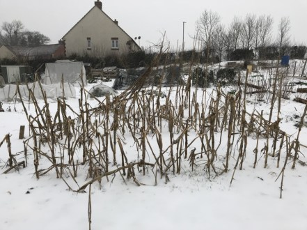 My allotment, still need to compost those sweetcorn stalks