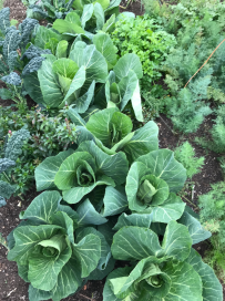spring cabbage