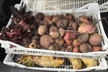 beetroot, chicories and mangelwurzels
