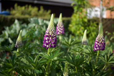 lupins starting to flower in the perennial bed