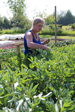 picking broadbean tops at Homeacres