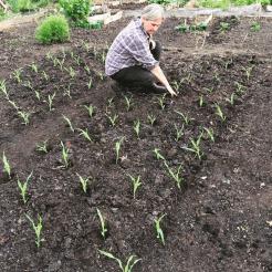 Planting sweetcorn at my allotment