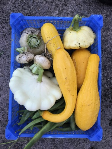 white turnips, summer squash and fat runner beans for beans (not pods) from the front garden