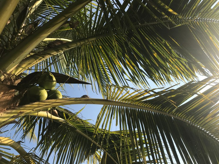 Young coconuts - I remember when this tree was a sprouting coconut!