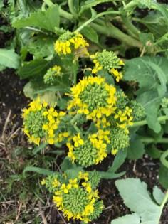 brassica flowers
