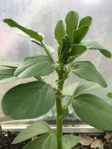 broadbean starting to flower