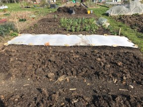 allotment and fleeced parsnip bed