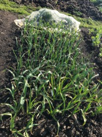 autumn sown garlic
