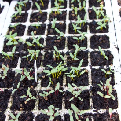 Module sown beetroot in a module tray