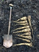 parsnips sown into composted manure on heavy clay