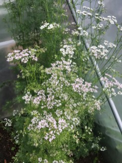 coriander in flower - I eat the green seeds