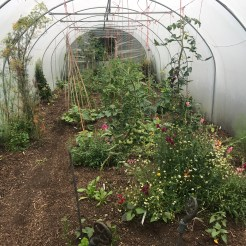 polytunnel after the garlic harvest