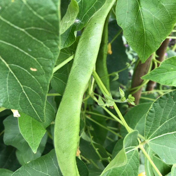 2.31: czar beans growing in the garden, the beans are a kind of runner bean