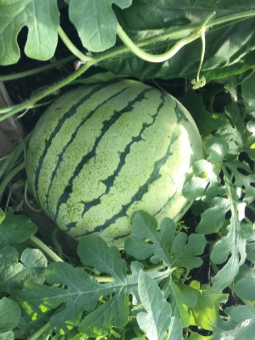 Early Moonbeam watermelon