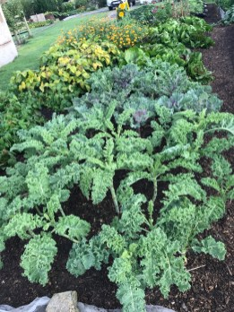 Kale in foreground, chicories behind and dwarf French beans to the left