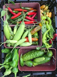aubergines, peppers, cucumbers, chillies