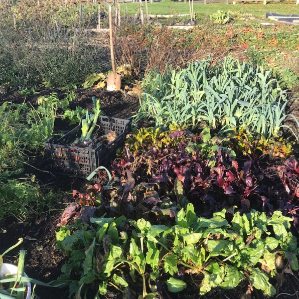 the beetroot and leek bed, carrots are to the left of the beets