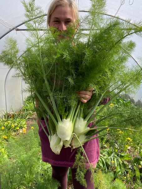 harvesting florence fennel