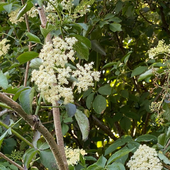 elderflowers in the hedgerow