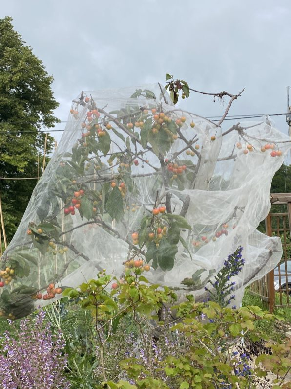 gradually ripening underneath the mesh