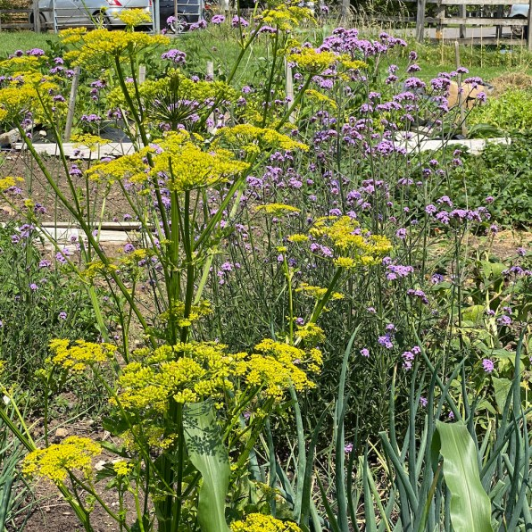 flowering parsnip