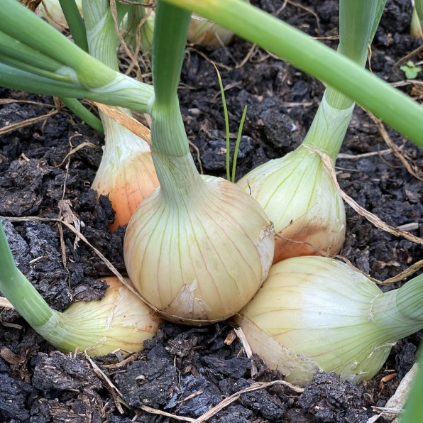 multi sown onion