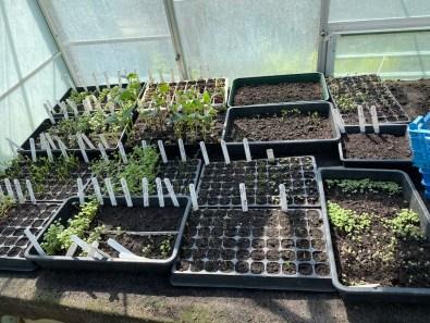 trays of seedlings