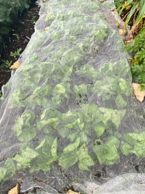 radicchio under mesh to protect it whilst small from rabbits and birds