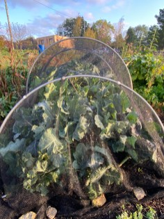 brassicas - including my favourite Brussel Sprouts