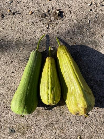 harvest of 3 luffas