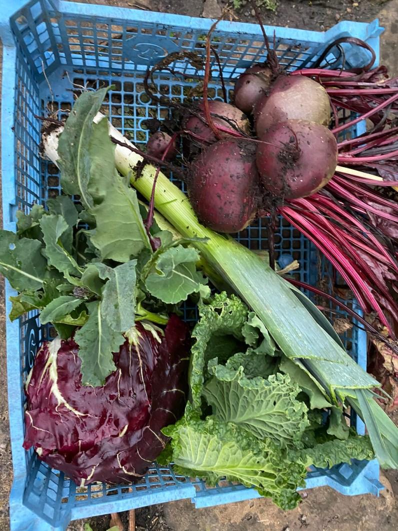 allotment harvest, mid-November