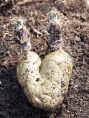 seed potato of love!