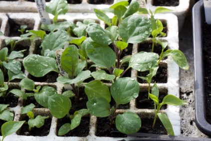 aubergines ready to pot on