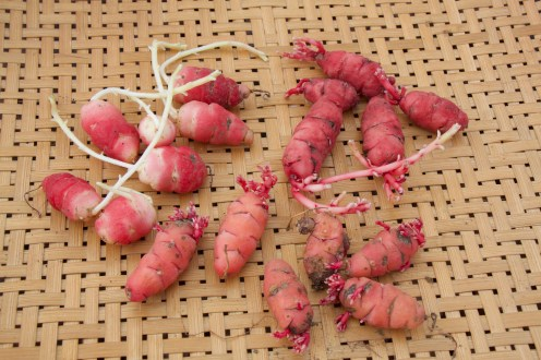 Three different varieties of oca