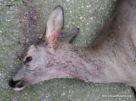 Reh von Hund angegriffen und schwer verletzt   Foto: NOE-Umweltwacht.org