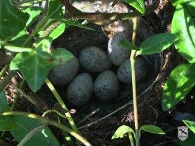 Das Nest der Bachstelze mit sechs Eiern | Foto: NOE-Umweltwacht.org