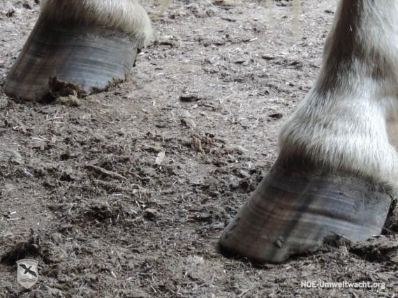 Verdacht der Tierquälerei - Vernachlässigung der Hufpflege bei Pferden   Foto: NOE-Umweltwacht.org