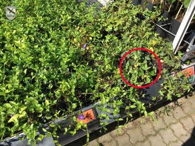 Bachstelze richtete Nest bei OBI ein | Foto: NOE-Umweltwacht.org