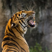 https://pixabay.com/en/tiger-cat-big-cat-animal-predator-3264048/