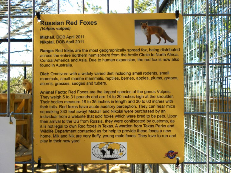 Mik & Nik: Russian Domesticated Foxes at the Austin, Texas Zoo