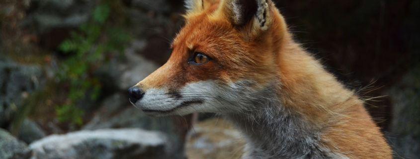 https://pixabay.com/en/fox-wildlife-animal-face-looking-984325/
