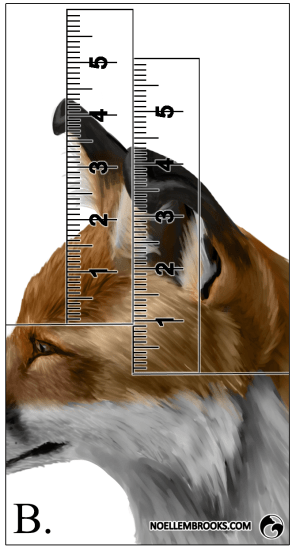 Red Fox Ear Curl Calculations - B