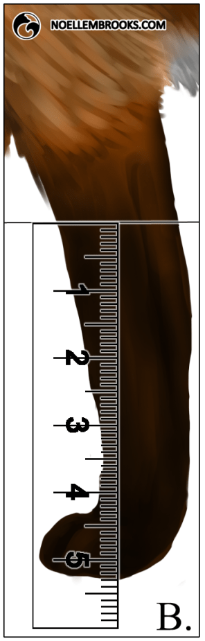 Red Fox Leg Length Calculations - B