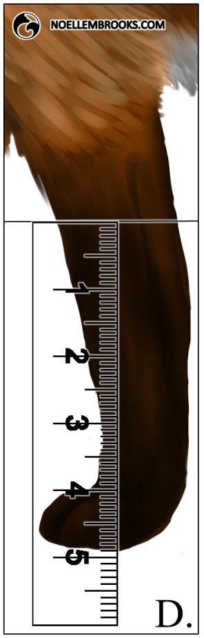 Red Fox Leg Length Calculations - D