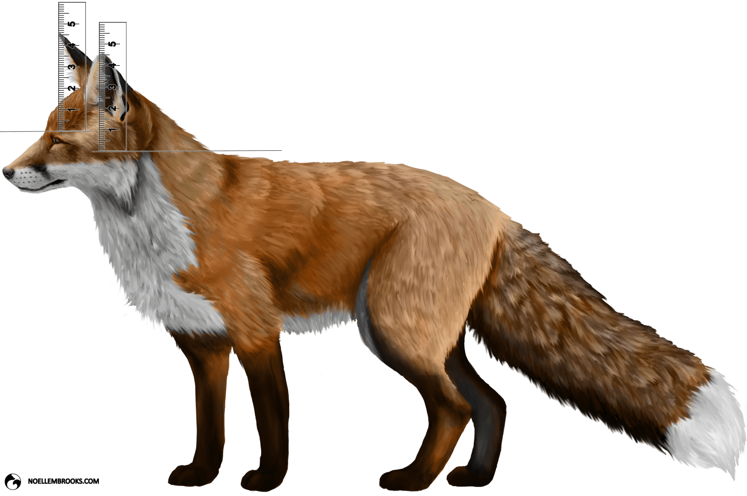 Wild Red Fox Ear Curl Calculations