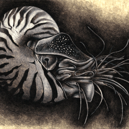 nautilus, charcoal, charcoals, charcoal pencil, charcoal pencils, realism, realistic, gradient, gradients, animal, animals, wildlife, nature, achromatic, black and white, black, white, grey, gray, cream, creme, beige, noelle, noelle brooks, noellebrooks, noelle m brooks, noellembrooks, art, series, drawing, drawings, picture, pictures, illustration, illustrations, portrait