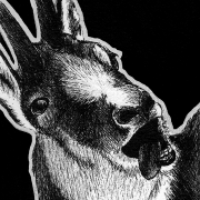 northern chamois, chamois, goat, goats, mouth open, tongue, silly, derp, face, close-up, close up, ink, inks, pen, pens, ballpoint pen, ballpoint pens, realism, realistic, animal, animals, wildlife, nature, achromatic, black and white, black, white, grey, gray, noelle, noelle brooks, noellebrooks, noelle m brooks, noellembrooks, art, series, drawing, drawings, picture, pictures, illustration, illustrations, portrait, portraits
