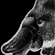 platypus, ink, inks, pen, pens, ballpoint pen, ballpoint pens, realism, realistic, animal, animals, wildlife, nature, achromatic, black and white, black, white, grey, gray, noelle, noelle brooks, noellebrooks, noelle m brooks, noellembrooks, art, series, drawing, drawings, picture, pictures, illustration, illustrations, portrait, portraits