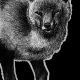 red fox, fox, foxes, European fox, walking, standing, full body, full-body, front, frontal, ink, inks, pen, pens, ballpoint pen, ballpoint pens, realism, realistic, animal, animals, wildlife, nature, achromatic, black and white, black, white, grey, gray, noelle, noelle brooks, noellebrooks, noelle m brooks, noellembrooks, art, series, drawing, drawings, picture, pictures, illustration, illustrations, portrait, portraits