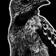 spangled cotinga, cotinga, bird, birds, side, profile, sitting, full body, full-body, ink, inks, pen, pens, ballpoint pen, ballpoint pens, realism, realistic, animal, animals, wildlife, nature, achromatic, black and white, black, white, grey, gray, noelle, noelle brooks, noellebrooks, noelle m brooks, noellembrooks, art, series, drawing, drawings, picture, pictures, illustration, illustrations, portrait, portraits
